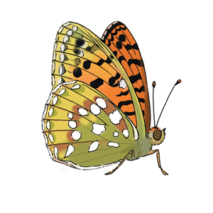 Green washed fritillary butterfly