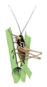 Roesels bush cricket