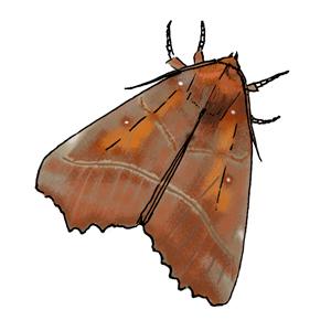 Herald moth