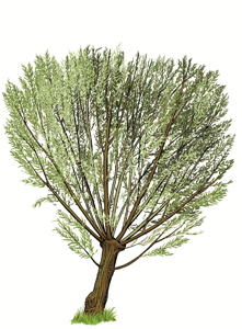 Pollarded willow