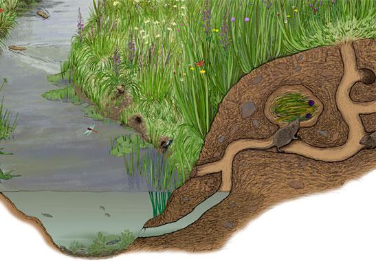 vole habitat