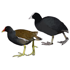 Moorhen and Coot