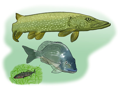 Stickleback, Bream and Pike