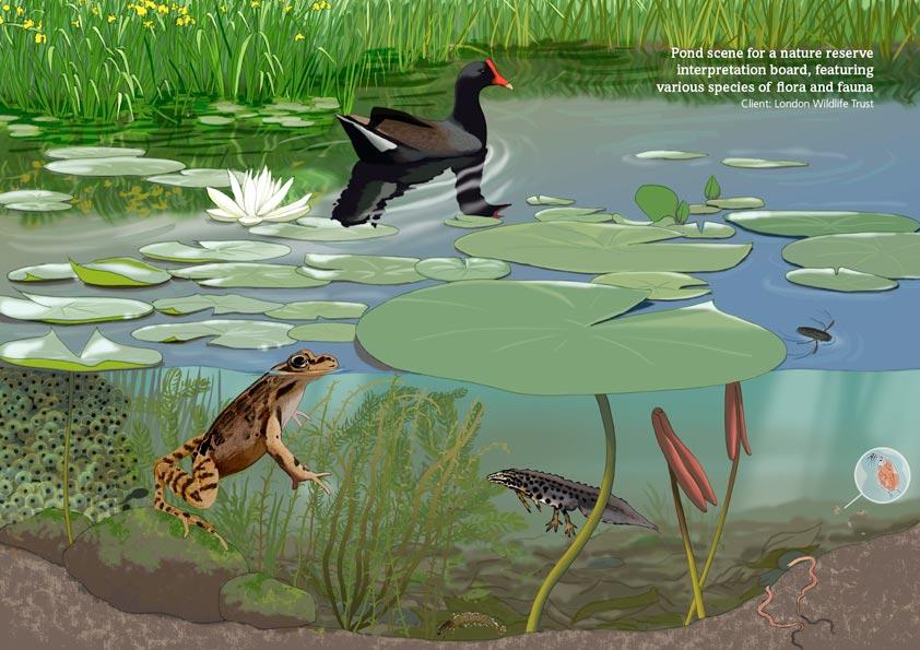 Pond species